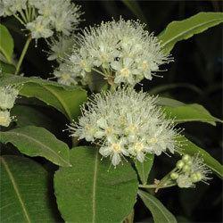 Backhousia Backhousia citriodora Growing Native Plants