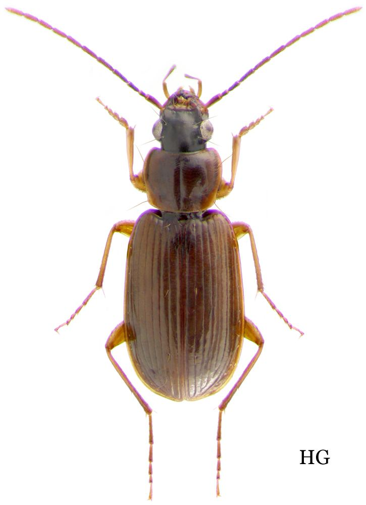 Badister Genus Badister Clairville 1806 90 Carabidae