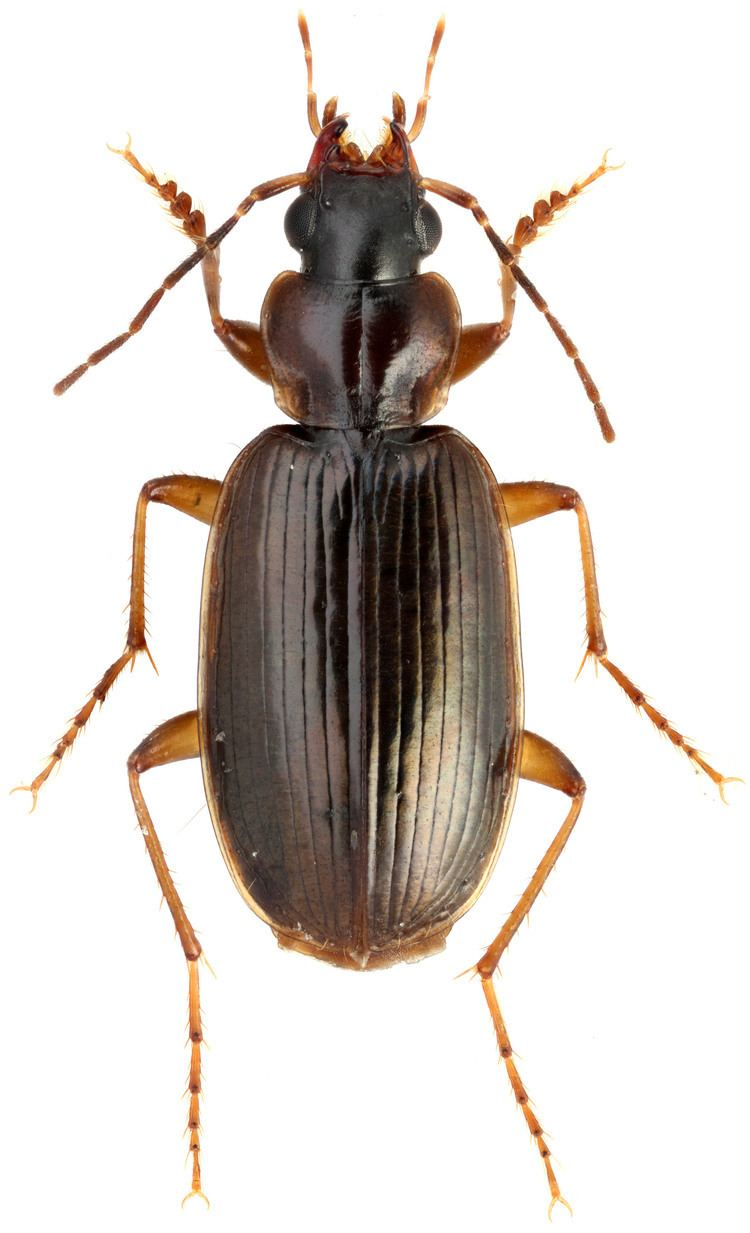 Badister carabidaeorgcarabidaeBadister20Baudia20collar