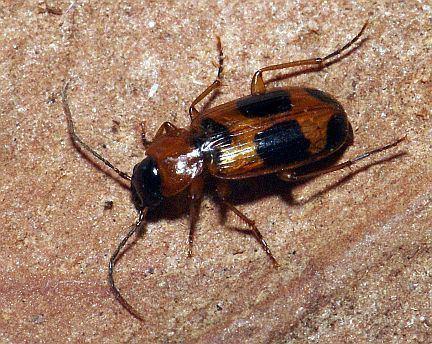 Badister Insects of Alberta Badister Carabid