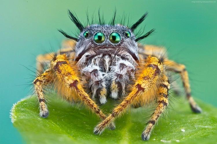 Bagheera kiplingi Bagheera kiplingi Wallpaper Animals Bagheera kiplingi spider macro