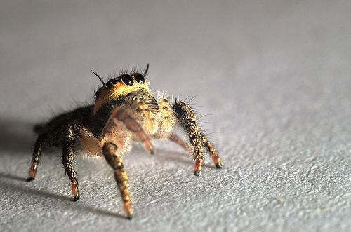 Bagheera kiplingi Bagheera kiplingi at Arachnida Araneae Salticidae jumping spiders