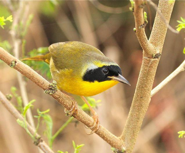 Bahama yellowthroat Bahama Yellowthroat Abaco ROLLING HARBOUR ABACO