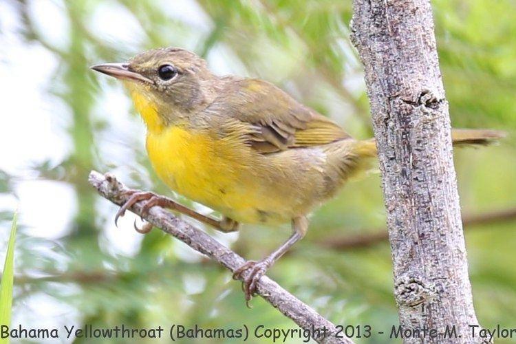 Bahama yellowthroat Bahama Yellowthroat