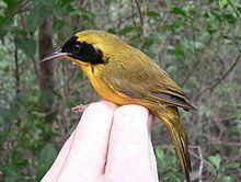 Bahama yellowthroat httpsuploadwikimediaorgwikipediacommonsthu