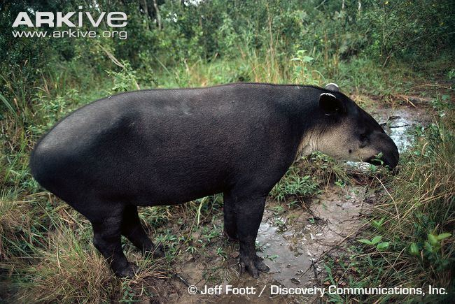 Baird's tapir - Alchetron, The Free Social Encyclopedia