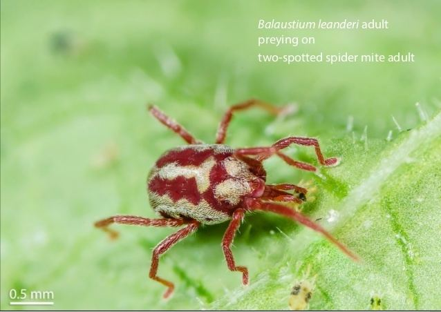 Balaustium Balaustium leanderi Supplementary material