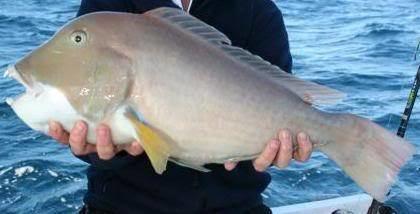 Baldchin groper Fishwreckapedia Baldchin Groper Fishing Fishwreckedcom