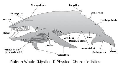 Baleen whale Baleen whale New World Encyclopedia