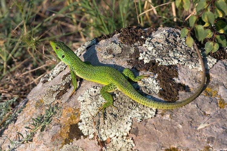 Balkan green lizard Balkan Green Lizard Pictures Balkan Green Lizard Images NaturePhoto