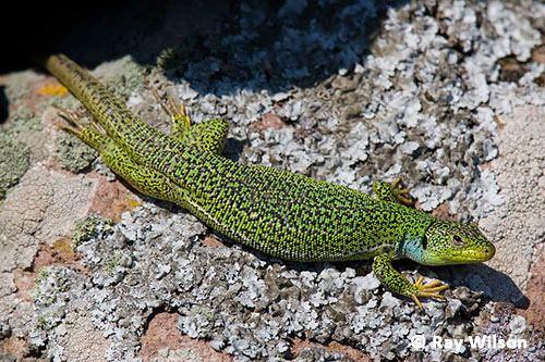 Balkan green lizard Balkan Green Lizard Lacerta trilineata