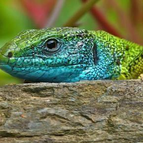 Balkan green lizard Balkan green lizard Pixdaus