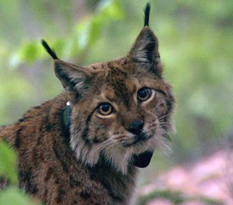 Balkan lynx Bern Convention Committee to decide fate of Balkan lynx and Boskov