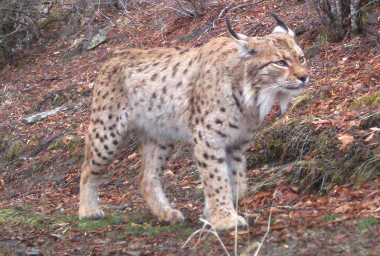 Balkan lynx The Balkan Lynx Conservation Compendium