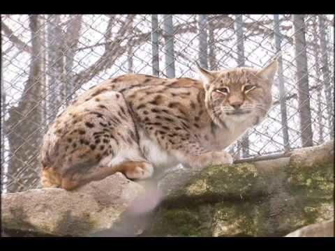Balkan lynx Aleksander Trajce Balkan lynx conservation YouTube