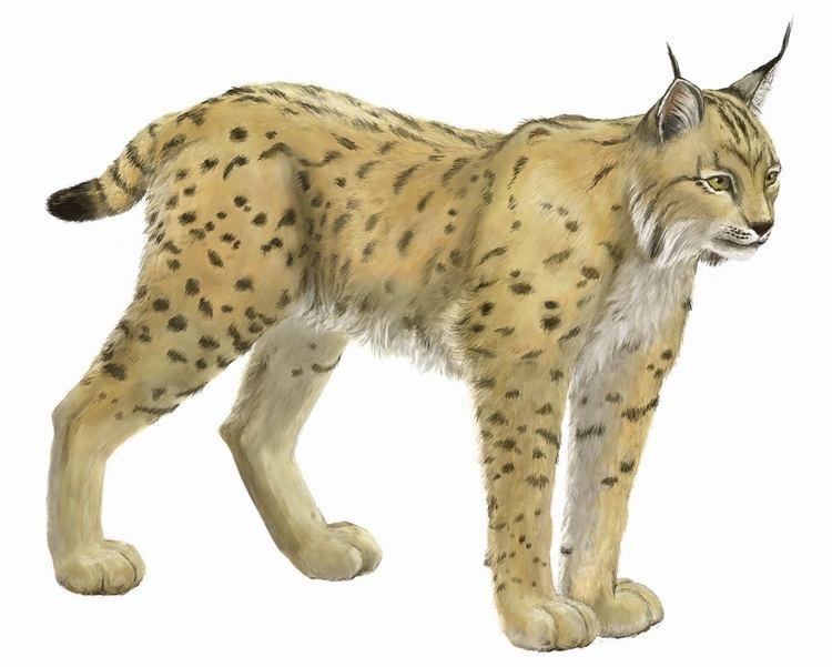 Balkan lynx wwwbirdlifeorgsitesdefaultfilesstyles1600p
