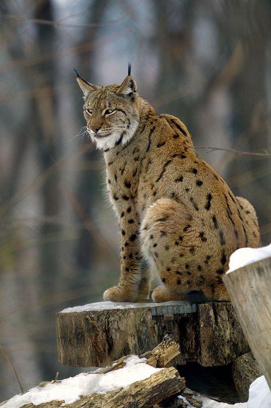 Balkan lynx Balkan lynx Wikipedia
