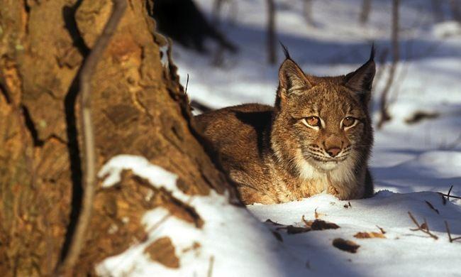 Balkan lynx Web Exclusive Balkan Beauties AJ Canada39s Environmental Voice