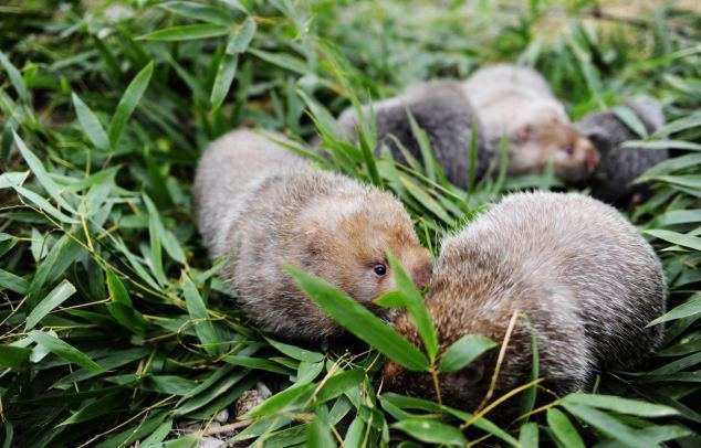 Bamboo rat Rodents that get fat by eating bamboo are now being FARMED in China