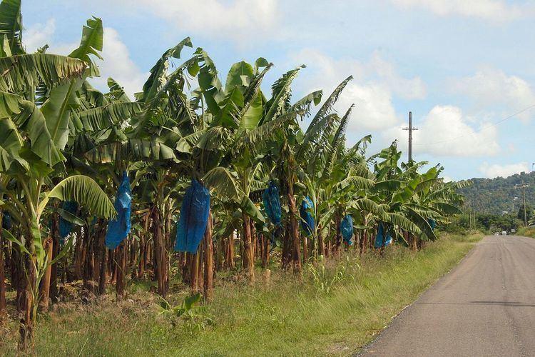 Banana industry
