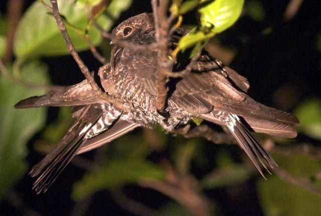 Band-tailed nighthawk Bandtailed Nighthawk Nyctiprogne leucopyga videos photos and
