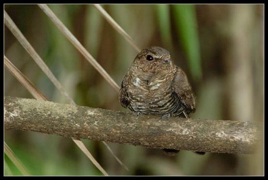 Band-tailed nighthawk Bandtailed Nighthawk BirdForum Opus