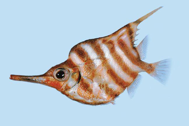 Banded bellowsfish fishesofaustralianetauimagesimageCentriscHume