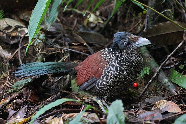 Banded ground cuckoo Surfbirds Online Photo Gallery Search Results