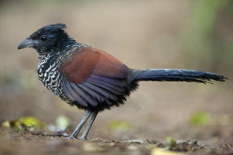 Banded ground cuckoo Banded Ground Cuckoo Neomorphus radiolosus juvenile Ecuador