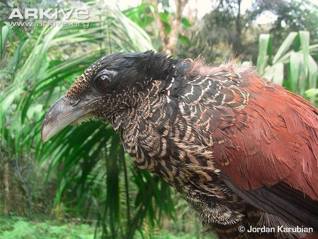Banded ground cuckoo Banded groundcuckoo videos photos and facts Neomorphus