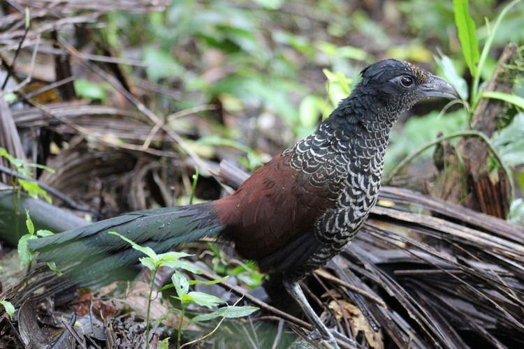 Banded ground cuckoo Banded Ground Cuckoo Un poco del ChocBLOG