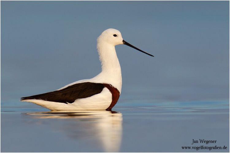 Banded stilt Is Banded Stilt actually a Banded Avocet The New Shorebirds
