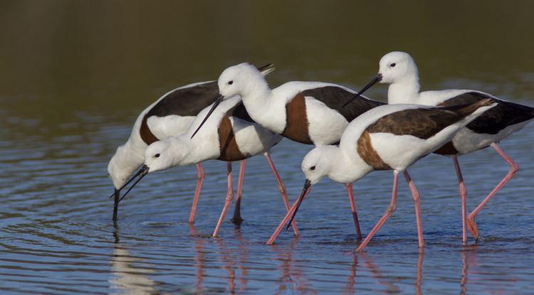 Banded stilt Birds in Tasmania TogethernessBanded Stilt