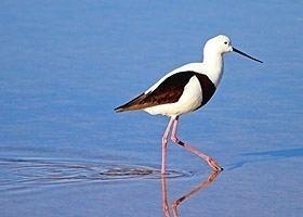 Banded stilt wwwbirdlifeorgauimagessizedimagesuploadsbi