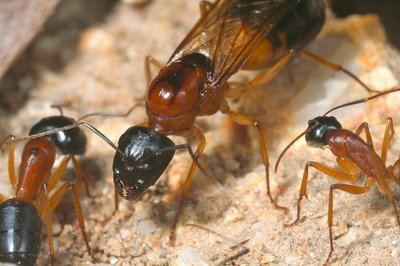 Banded sugar ant Camponotus Consobrinus Banded Sugar Ant in Keeping Ants Forum
