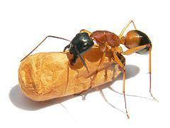 Banded sugar ant Banded sugar ant Wikipedia
