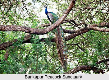 Bankapura Peacock Sanctuary Bankapur Peacock Sanctuary Bankapura Haveri District