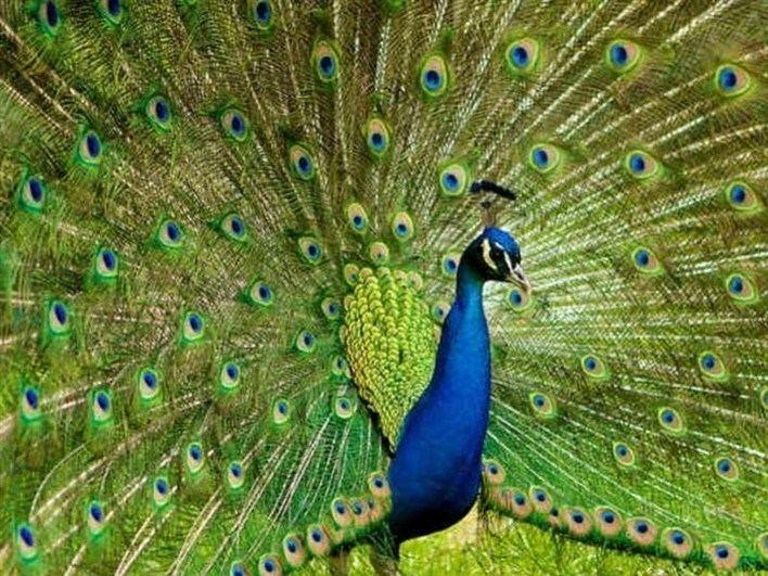 Bankapura Peacock Sanctuary httpsi0wpcomwwwkarnatakacomwpcontentupl