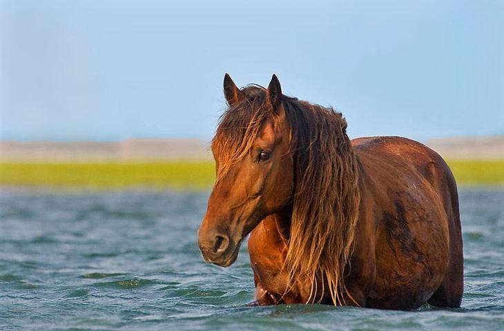 Banker horse Banker Horse pictures video and information