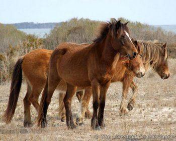 Banker horse Banker Horse Horse Breeds Of The World