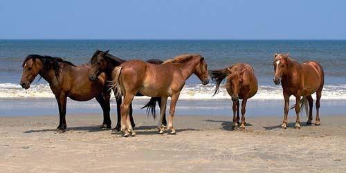 Banker horse Banker Horse pictures and information