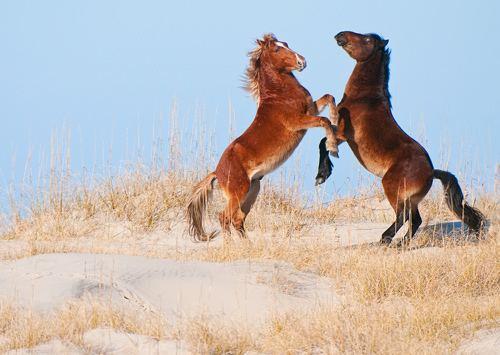 Banker horse Banker Horse