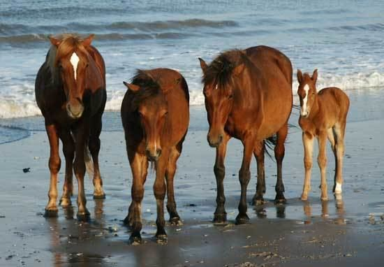 Banker horse 1000 images about Outer Banks Wild Horses on Pinterest