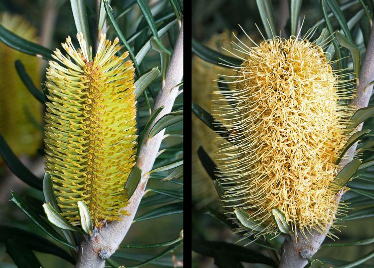 Banksia Banksia Wikipedia