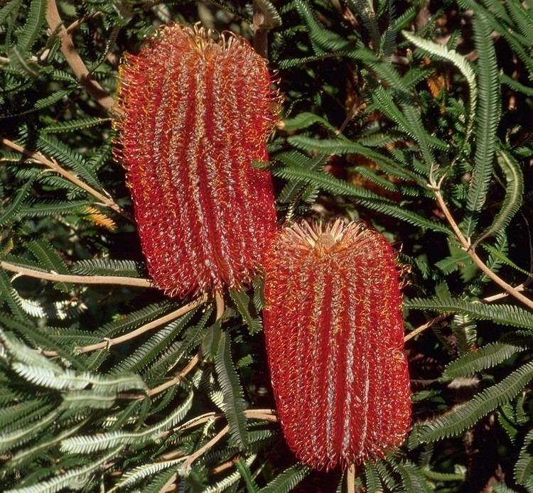 Banksia Banksia brownii Wikipedia