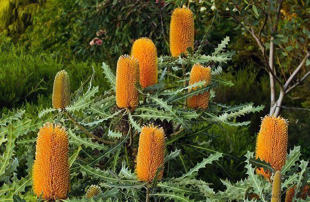 Banksia ashbyi Dwarf Ashbyamp039s Banksia Banksia ashbyi Seed eBay