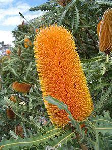 Banksia ashbyi httpsuploadwikimediaorgwikipediacommonsthu