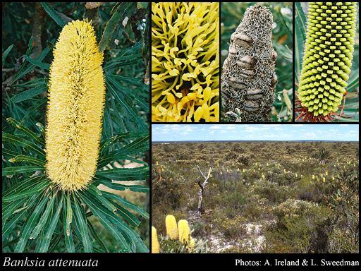 Banksia attenuata Banksia attenuata RBr FloraBase Flora of Western Australia
