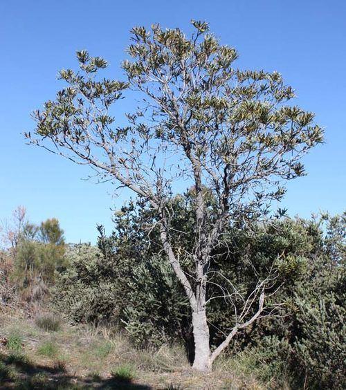 Banksia attenuata Banksia attenuata Candlestick Banksia