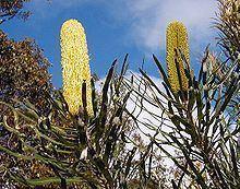 Banksia attenuata httpsuploadwikimediaorgwikipediacommonsthu
